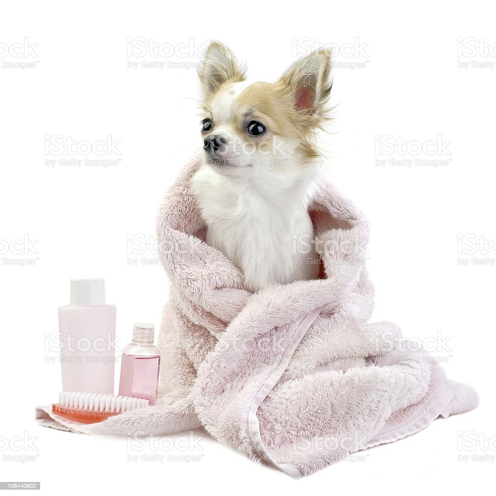 Sweet chihuahua with spa accessories isolated stock photo