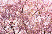Sweet color branch of Himalayan Cherry (Prunus cerasoides) flower blooming at Chiangmai Thailand