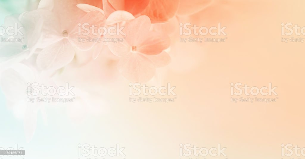 sweet color hydrangeas in soft and blur style stock photo