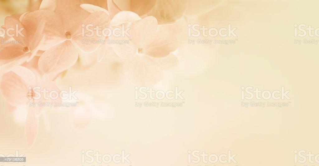 sweet couleur doux, flou, des hortensias et style - Photo