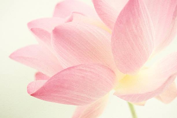 Süße Farben lotus in weichen und blur Stil – Foto