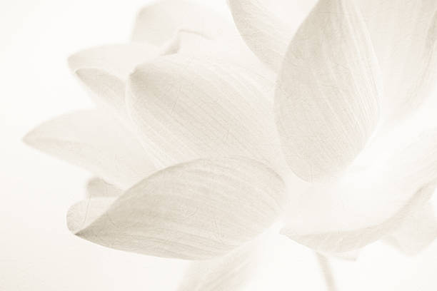 sweet color lotus in soft and blur style sweet color lotus in soft and blur style on mulberry paper texture background single flower stock pictures, royalty-free photos & images