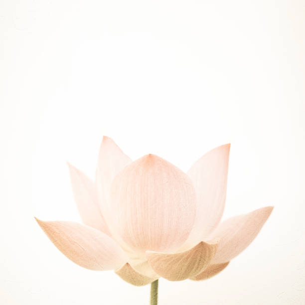 sweet color lotus in soft color and blur style on mulberry paper texture - foto de acervo