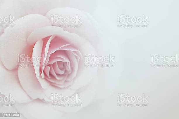 Sweet color roses in soft color for flora background picture id626996300?b=1&k=6&m=626996300&s=612x612&h=7rc22b9elxywpxpvrdsaailiwwdso hbsdwxthtj2y0=