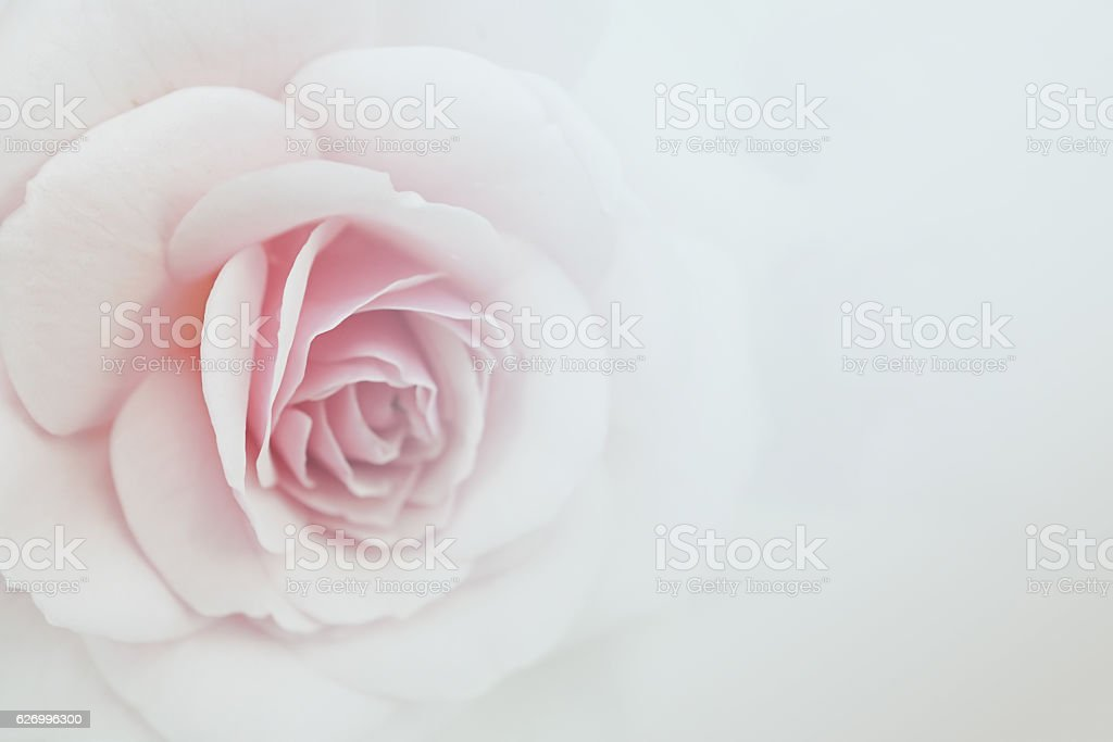 sweet color roses in soft color for flora background stock photo