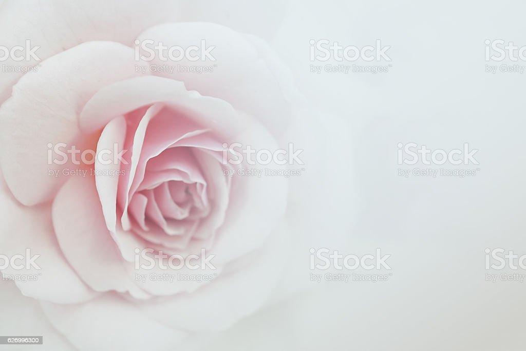 Sweet couleur roses en arrière-plan de couleurs douces pour flore - Photo