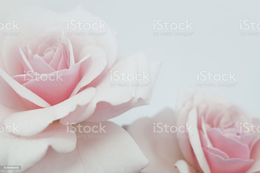 Süße Farben Rosen in sanften Farbe für Flora Hintergrund – Foto