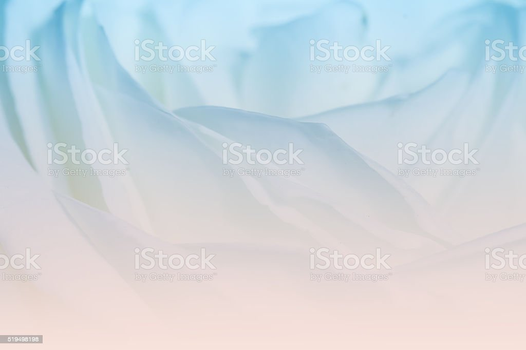 sweet color roses in soft color for valentine background stock photo