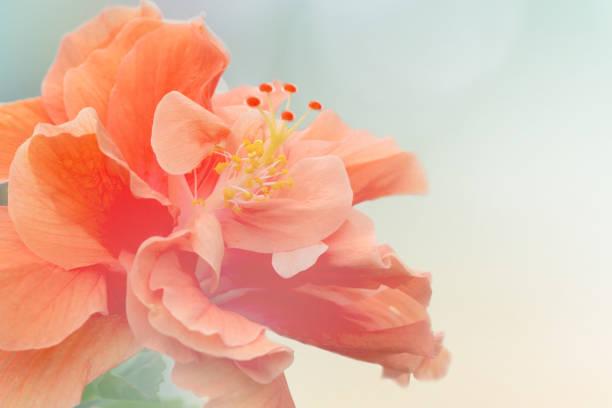 Sweet coralpink hibiscus flower blossom picture id1126867305?b=1&k=6&m=1126867305&s=612x612&w=0&h=t125hnb9 s4 aqanqc7xcyuoxejxgnpecmjkzme pik=