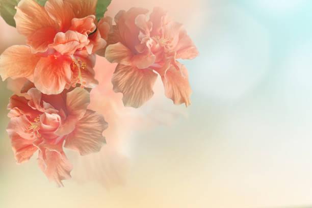 söt korall-rosa hibiscus blomma blomma - carpel bildbanksfoton och bilder