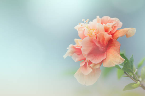 Sweet coralpink hibiscus flower blossom picture id1145409015?b=1&k=6&m=1145409015&s=612x612&w=0&h=5om8z1rufdcmbvmv9nzsh6xjmn5owjfhxu5excvacms=
