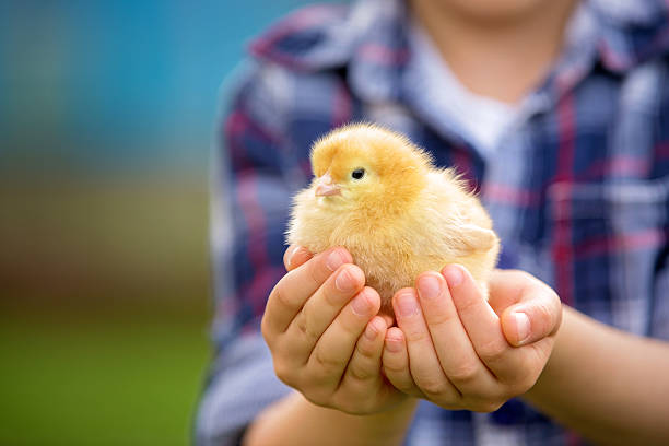 Best Baby Chicken Stock Photos Pictures Royalty Free
