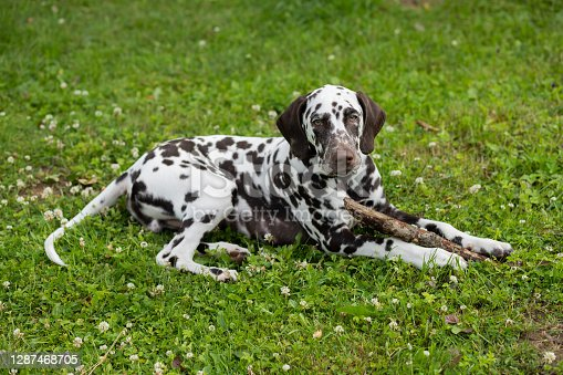 Sweet cute dalmatian dog puppy lying on the meadow and chewing on a branch stick