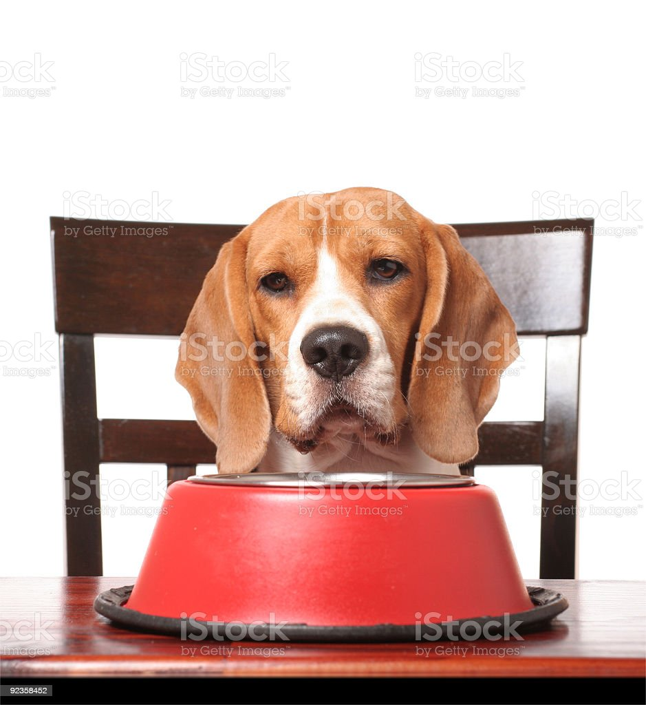 Sweet dog ready to eat his dinner royalty-free stock photo