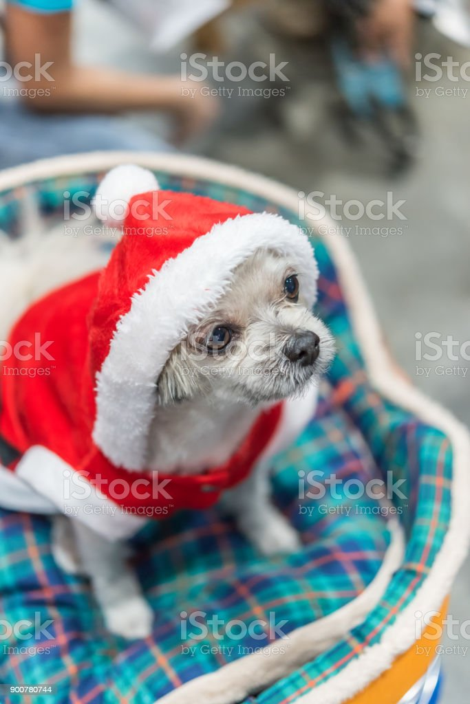 Foto De Cão Doce Com Vestido De Papai Noel Se Parecer E Mais Fotos De Stock De Amizade
