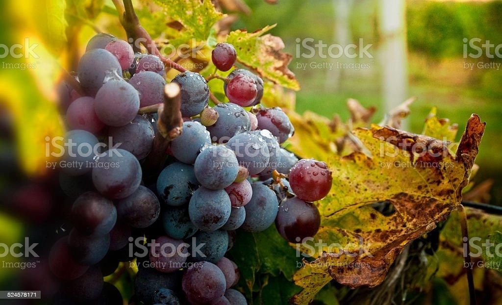 Sweet boire raisin de Hambourg - Photo