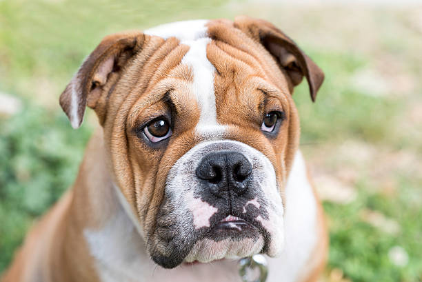 Sweet english bulldog stock photo