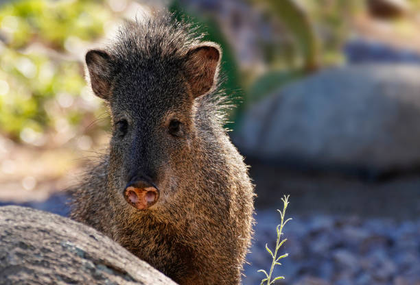 sweet faced female javelina - javelina stock pictures, royalty-free photos & images
