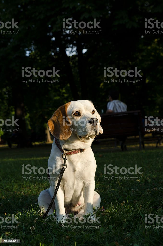 Sweet female beagle sitting in a city park Стоковые фото Стоковая фотография