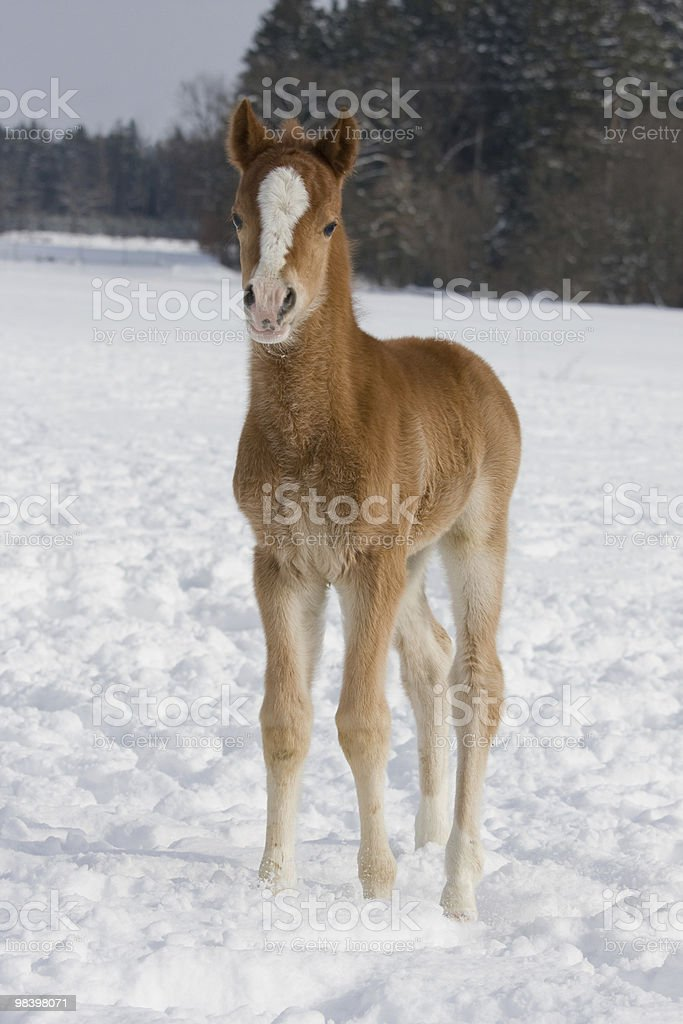 Sweet foal on snowy meadow royalty-free stock photo