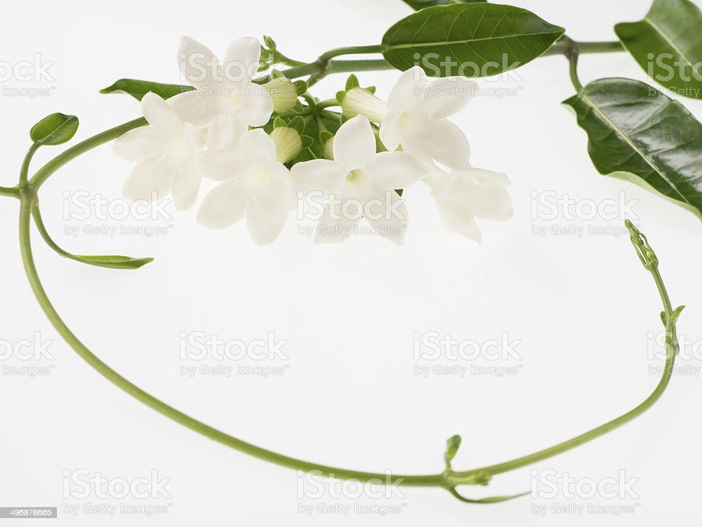 Sweet fragrance Malagasy jasmine isolated on white background stock photo