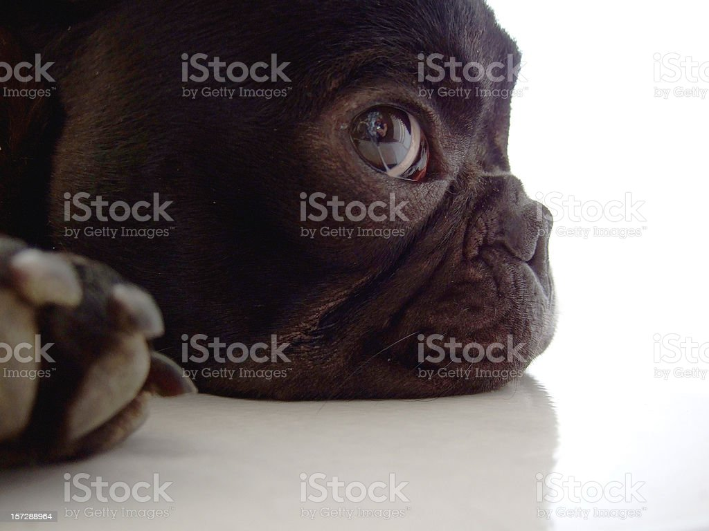 Sweet French Bulldog Puppy royalty-free stock photo