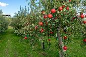 Sweet fruit apples growing on trees in Hirosaki ringo apple park ready for harvest in Hirosaki ,Aomori,Japan.