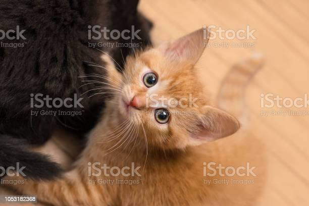 Sweet ginger and black kitty domestic cats 8 weeks old felis catus picture id1053182368?b=1&k=6&m=1053182368&s=612x612&h=6dpbprsywfwdi mszxlxftqrtkmxalibcs7rb9cum2a=