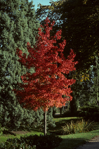 Red leaves of Sweet Gum in autumn