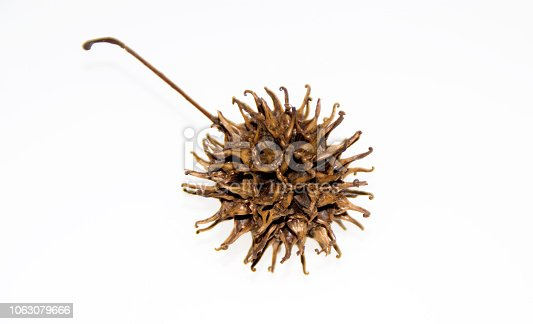 Sweet Gum tree Seed Pod on a white background