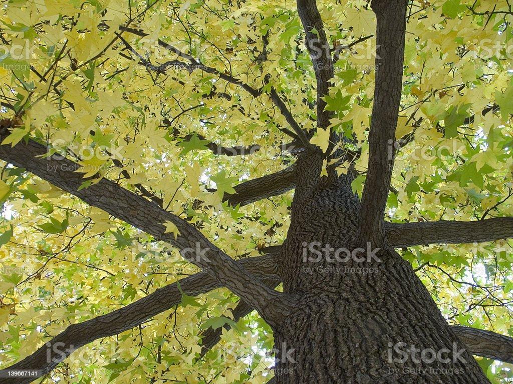 Sweet Gum Tree in Autumn stock photo