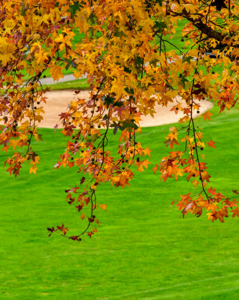 Sweet Gum tree on a golf course.