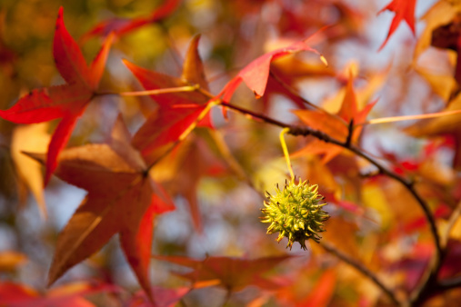 Sweet Gum is a popular shade tree because of its fall coloring. Selective focus was used on the fruit (shown here) to create a soft background.