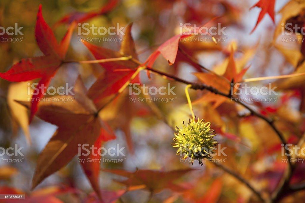 Sweet Gum Tree with Fruit stock photo