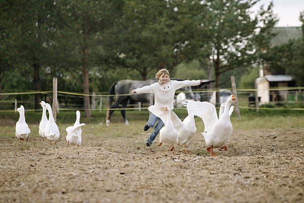 Sweet happy little girl running after flock geese on farm picture id610862910?b=1&k=6&m=610862910&s=612x612&w=0&h=hewmusu vruiqdrlv2ip2hqlilf  bozvmfrw8itkbi=