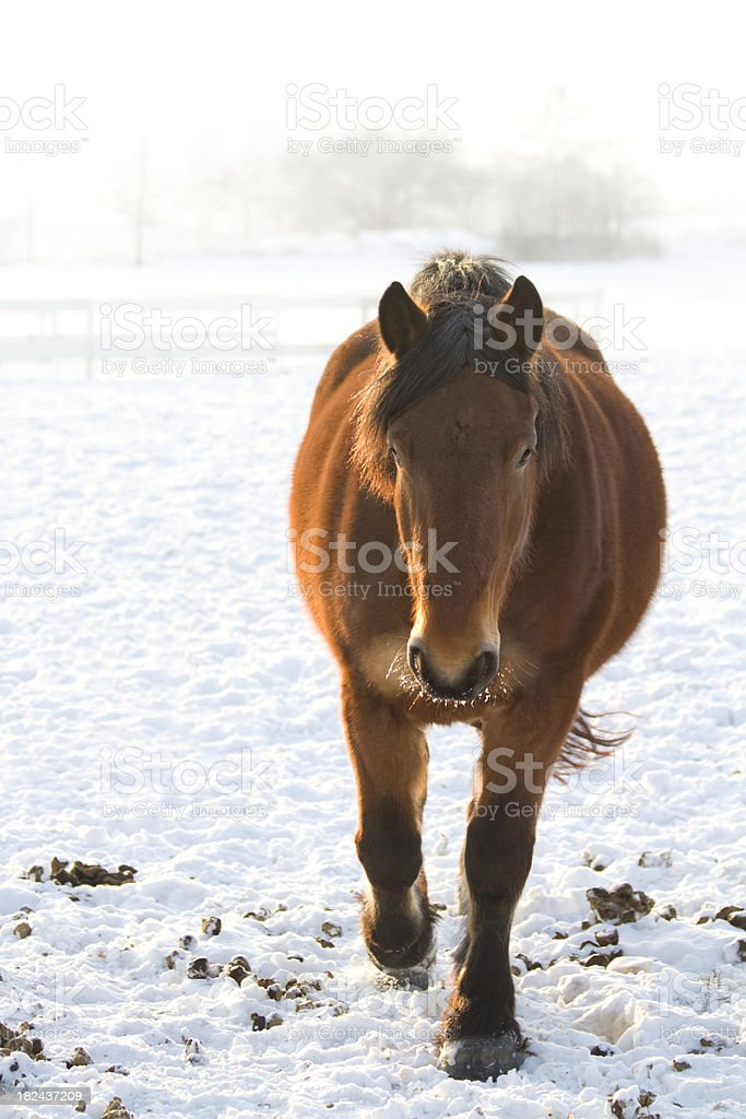 Sweet horse on a cold winterday royalty-free stock photo