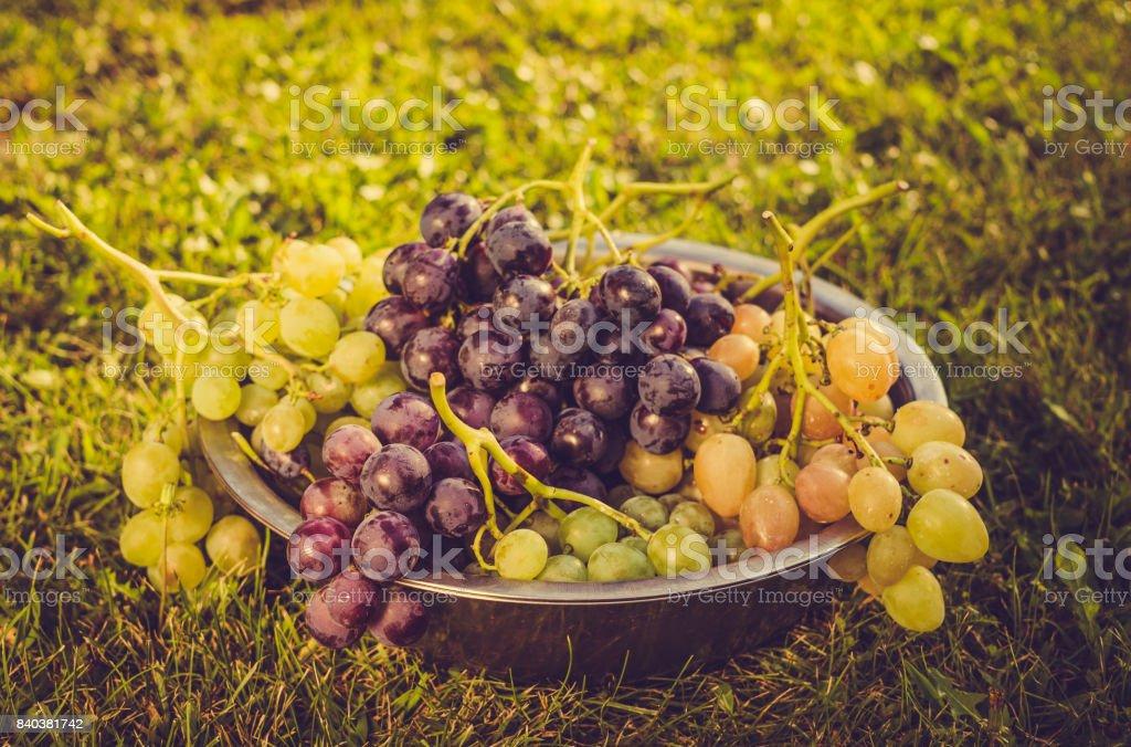 Sweet, juicy grapes. Harvesting autumn harvest in the vineyard stock photo
