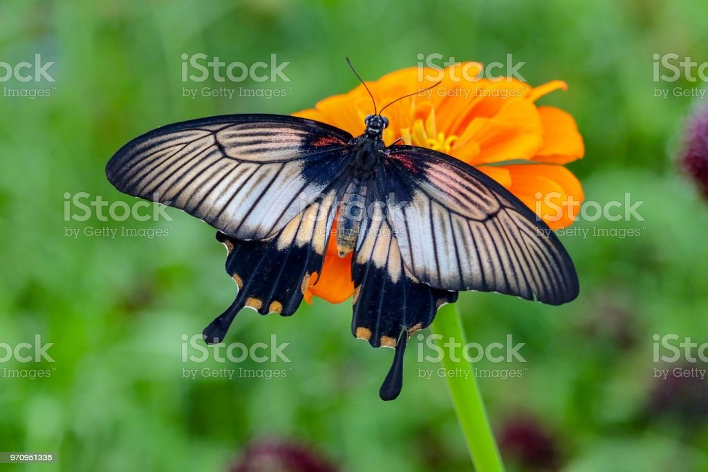 Sweet Kite Swallowtail Butterfly stock photo