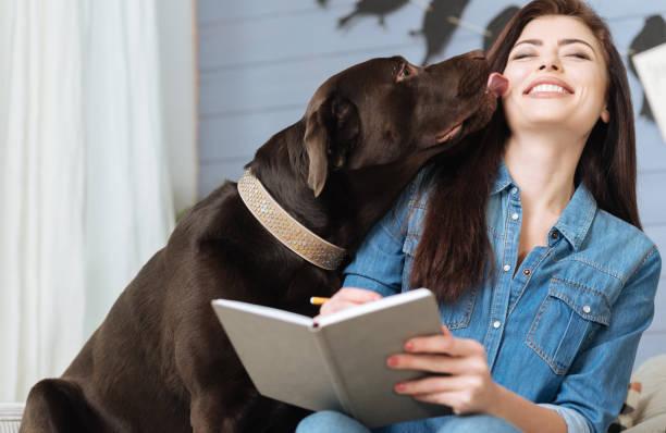 sweet labrador giving his mistress a kiss - cachorro desenho - fotografias e filmes do acervo