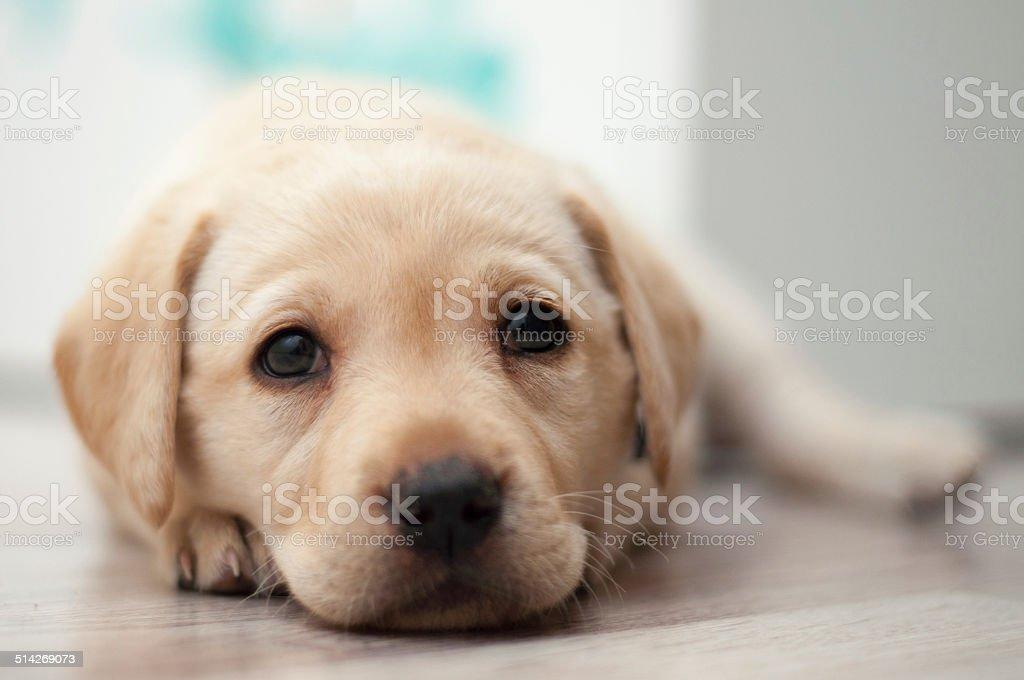Sweet Labrador Puppy Stock Photo