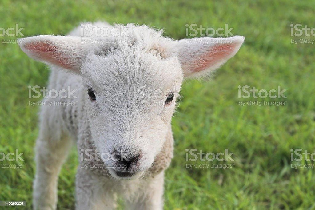 Sweet lamb royalty-free stock photo