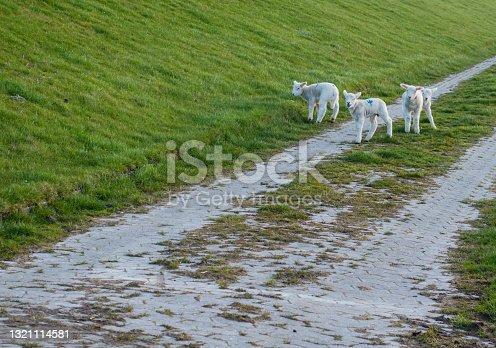istock Sweet Lambs on Cycle Path of North Sea Coast 1321114581