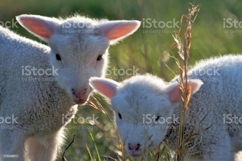Sweet Lambs royalty-free stock photo