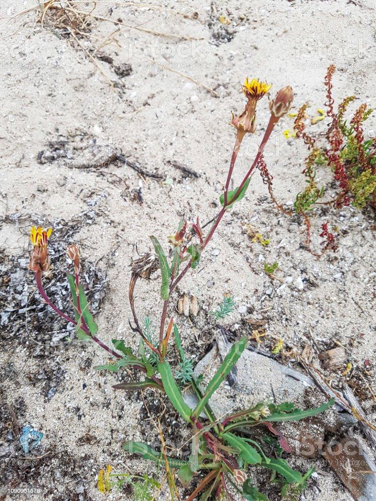 Planta de lechuguilla dulce - foto de stock