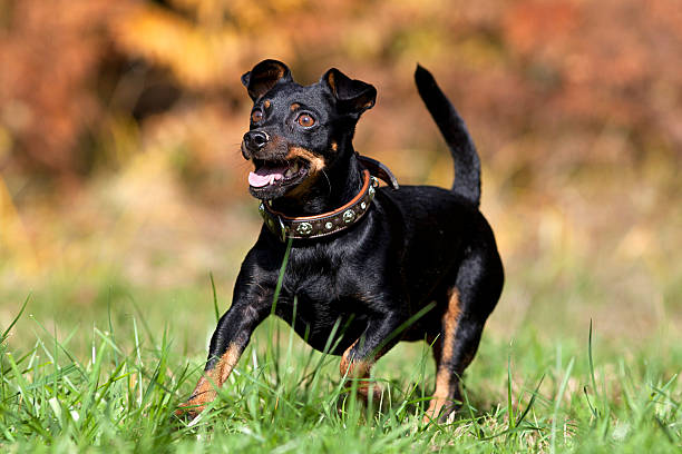 sweet little dog running free stock photo