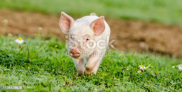 Sweet little piglets running for it self in the green grass