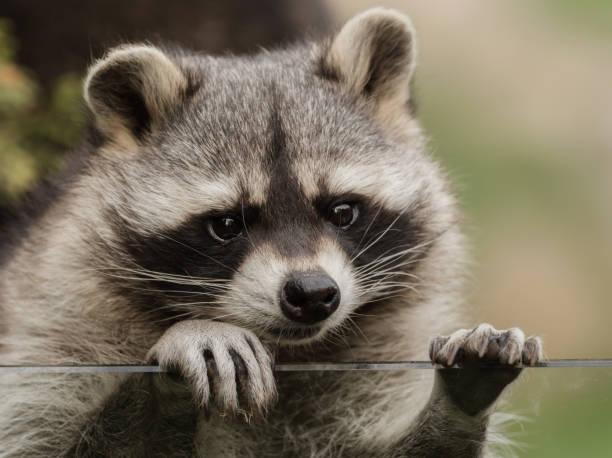 A sweet little racoon stock photo