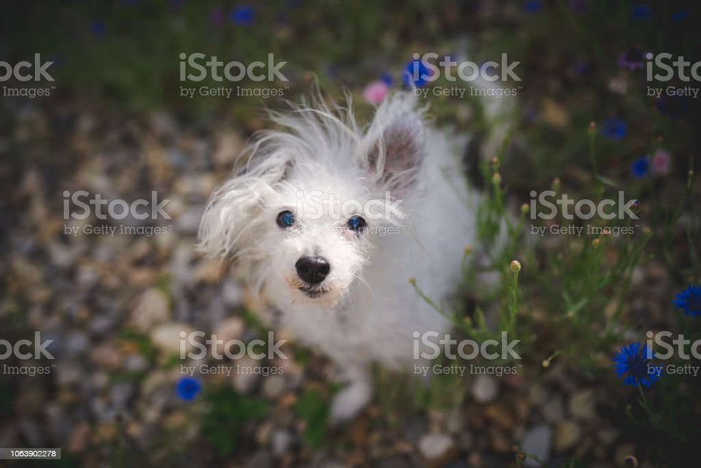 Sweet little white dog with crazy hair looking up stock photo