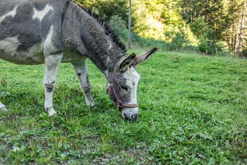 Sweet look of a donkey in the Swiss Alps in Switzerland
