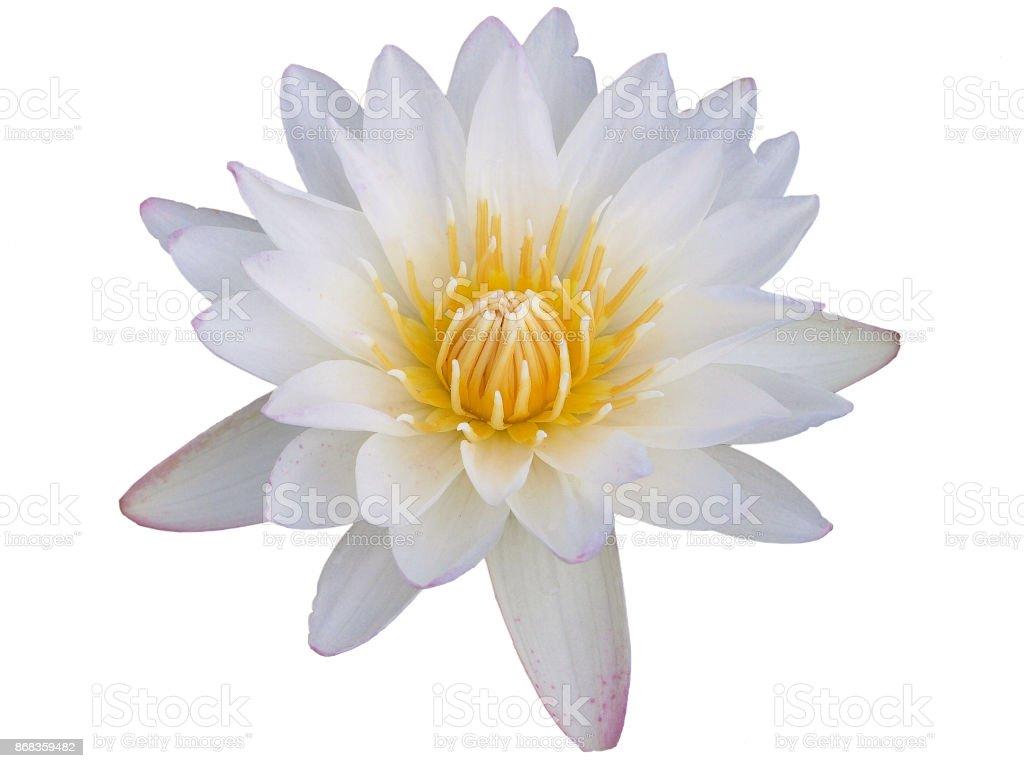 Sweet lotus flower on white background with clipping path stock sweet lotus flower on white background with clipping path royalty free stock photo izmirmasajfo